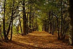 δέντρα ασβέστη αλεών Στοκ Εικόνες