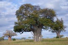 Δέντρα αδανσωνιών στοκ φωτογραφία