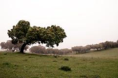 Δέντρα βαλανιδιών ακροποταμιών Στοκ Εικόνες