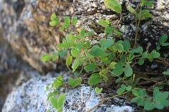 δέντρα βράχων Φύλλα, φύλλο, υπόβαθρο στοκ φωτογραφία με δικαίωμα ελεύθερης χρήσης