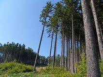 Δέντρα ερυθρελατών της Νορβηγίας Στοκ φωτογραφίες με δικαίωμα ελεύθερης χρήσης