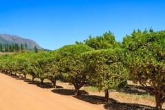 Δέντρα εσπεριδοειδών στοκ φωτογραφία