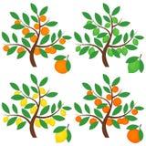 Δέντρα εσπεριδοειδών Στοκ φωτογραφία με δικαίωμα ελεύθερης χρήσης