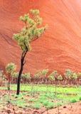 Δέντρα ευκαλύπτων στο υπόβαθρο του βράχου Uluru Ayers, Australasian στοκ φωτογραφίες με δικαίωμα ελεύθερης χρήσης