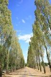 Δέντρα λευκών, άλσος, Γαλλία Στοκ φωτογραφία με δικαίωμα ελεύθερης χρήσης