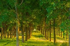 Δέντρα λευκών και άσπρη γύρη σε ένα δάσος την άνοιξη Στοκ φωτογραφίες με δικαίωμα ελεύθερης χρήσης