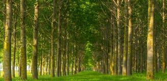 Δέντρα λευκών και άσπρη γύρη σε ένα δάσος την άνοιξη Στοκ εικόνα με δικαίωμα ελεύθερης χρήσης