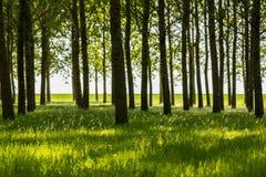 Δέντρα λευκών και άσπρη γύρη σε ένα δάσος την άνοιξη Στοκ Φωτογραφίες