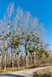 Δέντρα λευκών με το γκι στο χειμερινό δάσος Στοκ φωτογραφίες με δικαίωμα ελεύθερης χρήσης