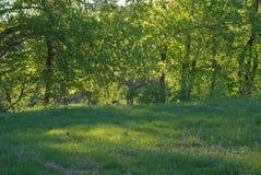Δέντρα λευκών πίσω από τους πράσινους θάμνους Στοκ Εικόνες