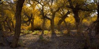 Δέντρα λευκών στην εποχή φθινοπώρου Στοκ Εικόνες