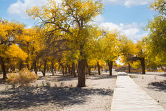 Δέντρα λευκών στην εποχή φθινοπώρου, Ejina, εσωτερική Μογγολία, Κίνα Στοκ Εικόνα