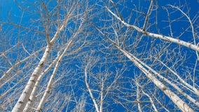 Δέντρα λευκών στο υπόβαθρο μπλε ουρανού Στοκ Εικόνα