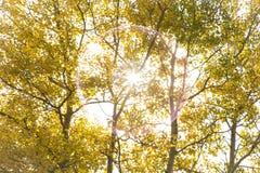 Δέντρα λευκών της Aspen φθινοπώρου με τον ήλιο Στοκ Εικόνα