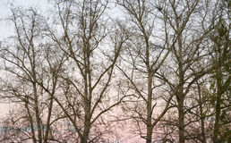 Δέντρα λευκών χωρίς φύλλα στο φθινόπωρο Στοκ φωτογραφία με δικαίωμα ελεύθερης χρήσης