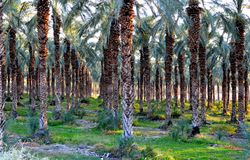 Δέντρα ημερομηνίας στην κοιλάδα της Ιορδανίας Στοκ Εικόνες