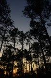 Δέντρα ηλιοβασιλέματος και πεύκων Στοκ Εικόνα