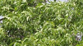 Δέντρα ισχυρού ανέμου απόθεμα βίντεο