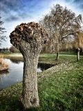Δέντρα ιτιών Στοκ Φωτογραφίες