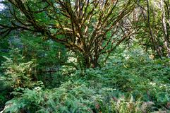 Δέντρα κέδρων Redwoods σε Καλιφόρνια Ηνωμένες Πολιτείες της Αμερικής Στοκ εικόνες με δικαίωμα ελεύθερης χρήσης