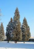 Δέντρα κέδρων το χειμώνα Στοκ φωτογραφίες με δικαίωμα ελεύθερης χρήσης