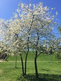 Δέντρα και άνθη πάρκων άνοιξη Setun Στοκ Φωτογραφίες