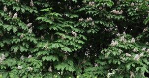 Δέντρα και λουλούδια του κάστανου φιλμ μικρού μήκους