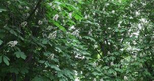Δέντρα και λουλούδια του κάστανου απόθεμα βίντεο
