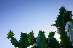 Δέντρα και λουλούδια του antiquorum Linn ευφορβίας Τριγωνικό Spurge Στοκ Εικόνες