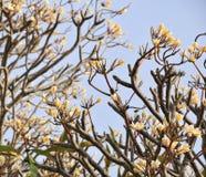 Δέντρα και λουλούδι Plumeria στο εθνικό πάρκο Phang Nga στη νότια Ταϊλάνδη Στοκ εικόνα με δικαίωμα ελεύθερης χρήσης