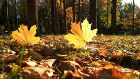 Δέντρα και φύλλα φθινοπώρου στον ήλιο απόθεμα βίντεο