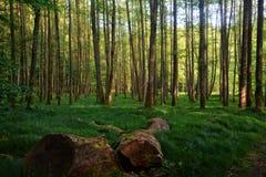 Δέντρα και ψηλές χλόες στο δάσος στα ξημερώματα Στοκ εικόνα με δικαίωμα ελεύθερης χρήσης