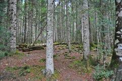 Δέντρα και mossy βράχοι στο δάσος Στοκ Φωτογραφίες