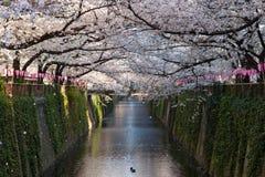 Δέντρα κεράσι-ανθών (ή Sakura) στην όχθη ποταμού Meguro, Τόκιο Στοκ εικόνες με δικαίωμα ελεύθερης χρήσης