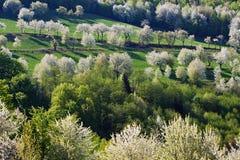 Δέντρα κερασιών άνοιξη στοκ φωτογραφίες με δικαίωμα ελεύθερης χρήσης