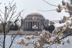Δέντρα κερασιών στην άνθιση με το μνημείο του Jefferson Στοκ Φωτογραφίες