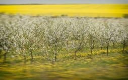 Δέντρα κερασιών στο άνθος, οπωρώνας κερασιών την άνοιξη, λουλούδια dande Στοκ εικόνα με δικαίωμα ελεύθερης χρήσης