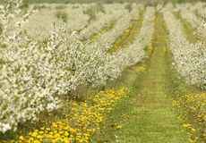 Δέντρα κερασιών στο άνθος, οπωρώνας κερασιών την άνοιξη, λουλούδια dande Στοκ εικόνες με δικαίωμα ελεύθερης χρήσης