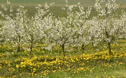 Δέντρα κερασιών στο άνθος, οπωρώνας κερασιών την άνοιξη, λουλούδια dande Στοκ Φωτογραφία