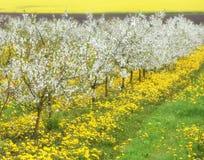 Δέντρα κερασιών στο άνθος, οπωρώνας κερασιών την άνοιξη, λουλούδια dande Στοκ Φωτογραφίες