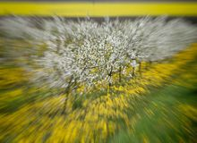 Δέντρα κερασιών στο άνθος, οπωρώνας κερασιών την άνοιξη, λουλούδια dande Στοκ Εικόνες