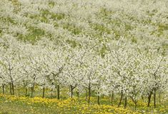 Δέντρα κερασιών στο άνθος, οπωρώνας κερασιών την άνοιξη, λουλούδια dande Στοκ Εικόνα