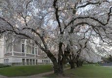 Δέντρα κερασιών στο πανεπιστήμιο της Ουάσιγκτον Στοκ Εικόνα