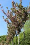 Δέντρα κερασιών Στοκ φωτογραφίες με δικαίωμα ελεύθερης χρήσης