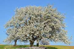 Δέντρα κερασιών Στοκ Εικόνα