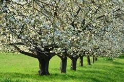 Δέντρα κερασιών Στοκ Φωτογραφία