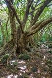 Δέντρα 2 κοιλάδων Iao Στοκ Εικόνες