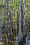 Δέντρα κυπαρισσιών, έλος, μεγάλη εθνική κονσέρβα κυπαρισσιών, Φλώριδα Στοκ Φωτογραφίες