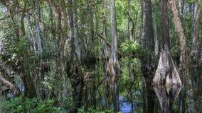 Δέντρα κυπαρισσιών, έλος, μεγάλη εθνική κονσέρβα κυπαρισσιών, Φλώριδα Στοκ εικόνα με δικαίωμα ελεύθερης χρήσης