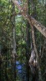 Δέντρα κυπαρισσιών, έλος, μεγάλη εθνική κονσέρβα κυπαρισσιών, Φλώριδα Στοκ Εικόνες